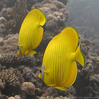 Picture of Masked Butterflyfish